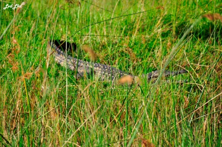 8 crocodile du nil