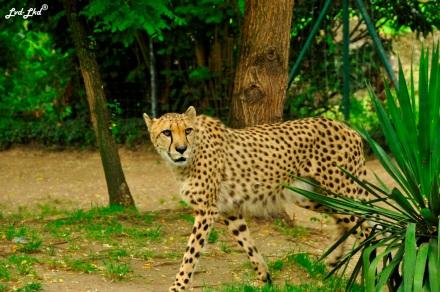 10 guepard