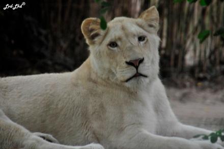6 lion