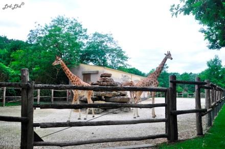 8 Girafes